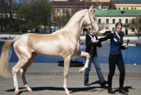 زیباترین و گرانترین اسب جهان: اسب ترکمن نژاد آخال تکه