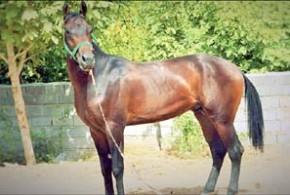 قطره اشکی برای اسب ترکمن